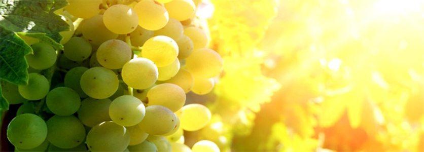 Uva Branca: Tipos Mais Comuns para Produção de Vinhos