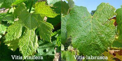 Planta Videira Vitis