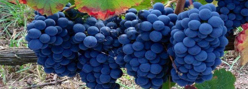Tipos de Uvas Tintas para Produção de Vinhos