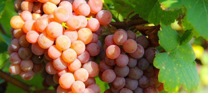 Uvas Aromáticas