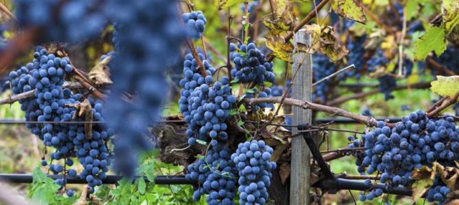 Merlot: conheça mais sobre essa uva tão elegante